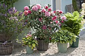 Hauseingang mit Rhododendron und Funkien