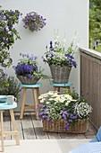 Blau - weisser Balkon in Koerben : Heliotropium 'Blue Bouquet'