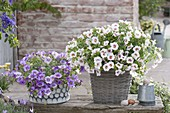 Calibrachoa Unique 'Lavender', Aloha 'Royal White' (Zaubergloeckchen)