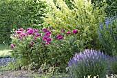 Beet mit Paeonia lactiflora 'Pink Double' (Pfingstrosen)
