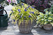 Tradescantia x andersoniana 'Sweet Kate' - Gold-Dreimasterblume