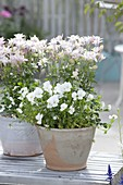 Aquilegia vulgaris 'Winky Rose' (Akelei) und Viola cornuta 'White'
