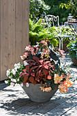 Begonia Fragrant Falls 'Peach' (Duft - Begonie)