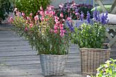 Gaura 'Lillipop Pink' (Prachtkerzen) und Salvia farinacea