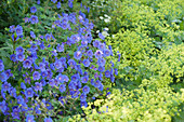 Blau - gelbe Kombination : Geranium x magnificum 'Rosemoor'