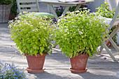 Tanacetum parthenium (Mutterkraut)