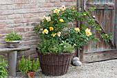 Hulthemia persica Hybride 'Eyeconic' (Moderne Rose),
