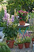 Delphinium 'Magic Fountains Lilac Pink / White Bee' (Rittersporn), Dahlia
