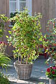 Himbeere 'Sanibelle' (Rubus idaeus) in Korb-Übertopf