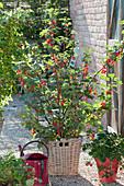 Rote Johannisbeere 'Jonkheer van Tets' (Ribes rubrum)