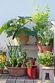 Gemüse in Toepfen auf dem Balkon ziehen