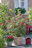 Rote Johannisbeere 'Jonkheer van Tets' (Ribes rubrum) und Dahlia