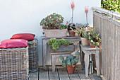 Sukkulenten in der Sommerfrische auf dem Balkon