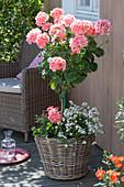 Pelargonium zonale 'Classic Helena' (Stehende Geranie)