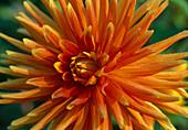 DAHLIA - HYBR. Gold Orange BL.00.00.