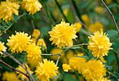 Kerria japonica 'Pleniflora'/ Ranunkelstrauch Bl 01