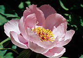 Paeonia suffruticosa 'Wyoming' Pfingstrose Bl 00