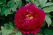 Paeonia suffruticosa 'Purplish Bicolor' Bl 00