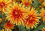 Dahlia hortensis 'Goldorange' Bl 01