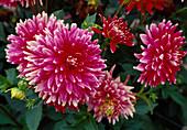 Dahlia hortensis 'Cheerio' Bl 01