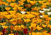 Eschscholzia californica Schlafmützchen