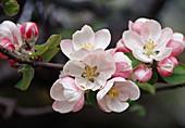Malus (Apfelblüte) Bl 01