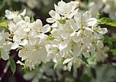 Malus prunifolia (Zierapfel) Bl 01