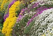 Steingarten mit Iberis (Schleifenblume), Alyssum saxatile (Steinkraut) Bl 01