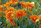 Dahlia hortensis 'Goldorange' / Dahlie Bl 01