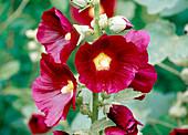 Alcea rosea / Stockrose Bl 01