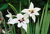 Acidanthera bicolor / Sterngladiole Bl 01