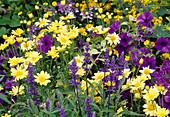 Komplementärfarben lila-gelb : Argyranthemum (Margeriten), Salvia farinacea (Mehlsalbei) und Petunia (Petunien)