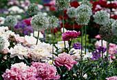 Paeonia lactiflora (Pfingstrose) weiß u. rosa