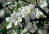Malus Apfelblüte reinweiß Bl
