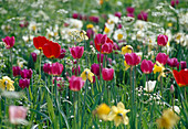 Tulipa / Tulpen, Narcissus / Narzissen als Frühlingswiese Bl