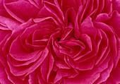 Rosa 'Red Leonardo da Vinci' / Floribundarose - kaum Duft 02