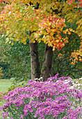 Acer rubrum / Rotahorn, Aster amellus / Bergaster Bl