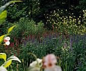 VERONICA longifolia,POLYGONUM AMPLEXICAULE,