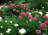 Paeonia-lactiflora-Hybr. 'Dr. Alexander Fleming' (Pfingstrose)