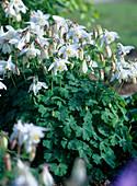 Aquilegia 'Spring Magic White' / Akelei