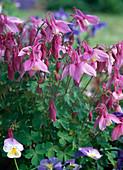 Aquilegia 'Spring Magic' Rosa-Weiß/ Akelei, Viola / Hornveilchen