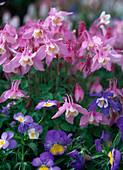 Aquilegia 'Spring Magic Rosa-Weiß' / Akelei, Viola / Hornveilchen