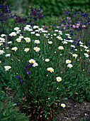 Leucanthemum / Frühlingsmargerite
