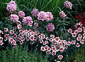 Rosa 'Mamy Blue' / duftende Edelrose von Delbard, Dianthus