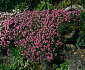 ARABIS caucasica 'Rosabella'