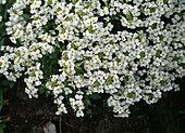 ARABIS caucasica