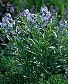 Amsonia tabernaemontanum