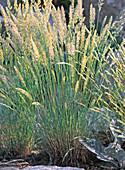 Koeleria glauca (Schillergras)