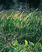 ALISMA parviflora (FROSCHLÖFFEL)