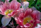 Tulipa-Hybr. 'Angelique'